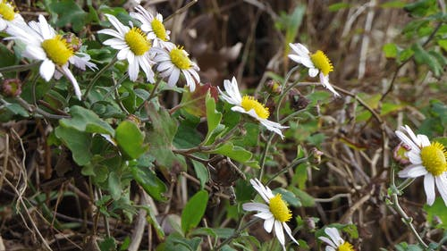Бесплатное стоковое фото с зима, хризантема