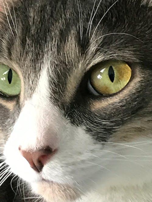 Free stock photo of boba fett the cat