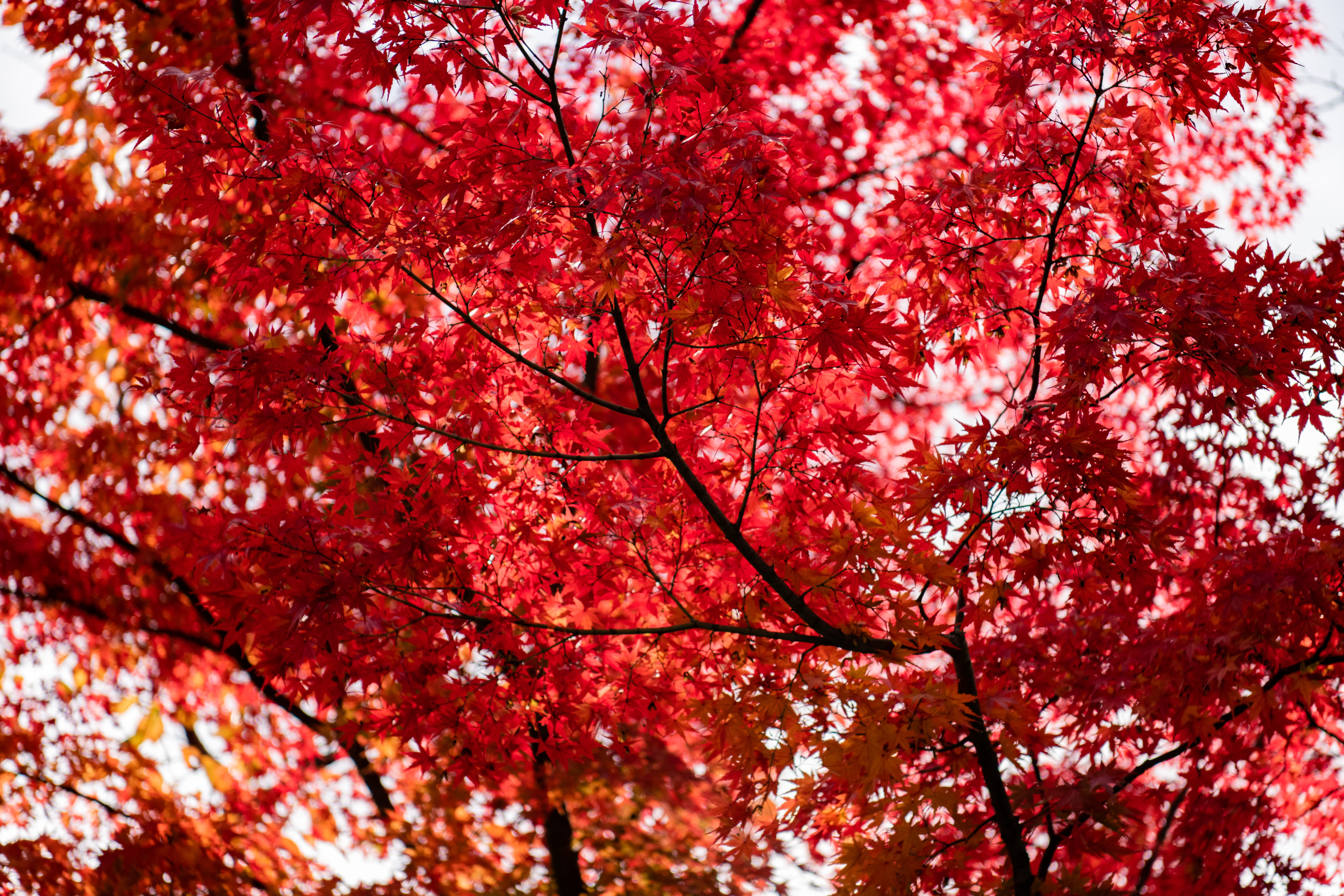 Tree With Red Leaves Free Stock Photo