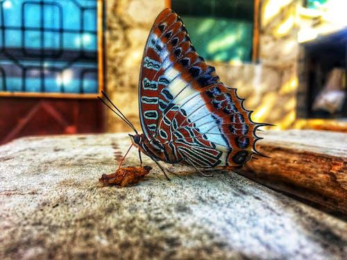 Základová fotografie zdarma na téma fotografování hmyzem, hmyz, motýl