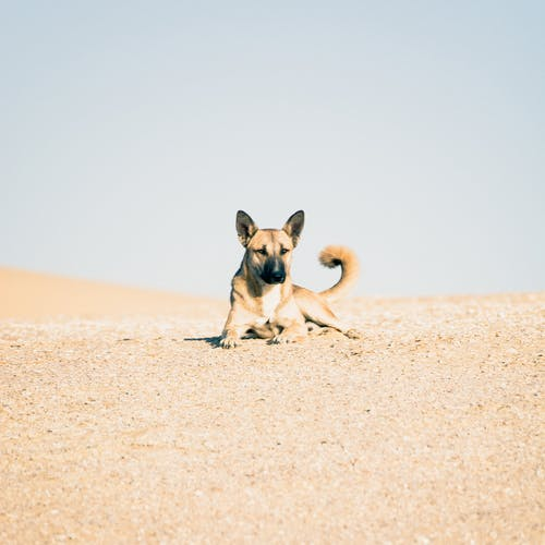 Brown and Black Short Coated Dog Sitting on Brown Sand