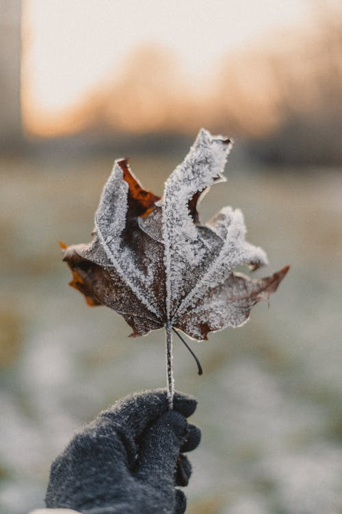 Brown Maple Leaf Covered With Snow