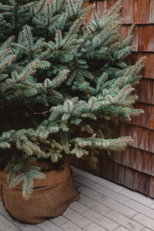 Green Pine Tree in Brown Clay Pot