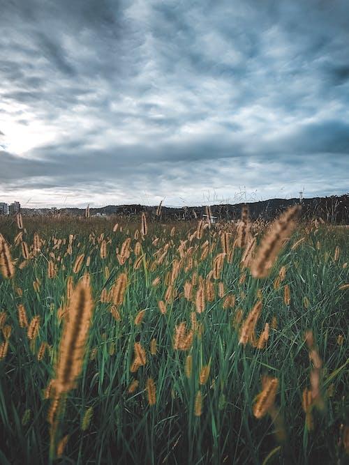 Gratis stockfoto met avondlucht, donkere wolk, gras lang, grasveld
