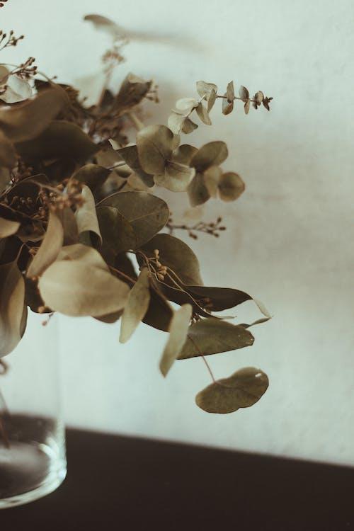 Free stock photo of dry leaves, eucalyptus, greenery