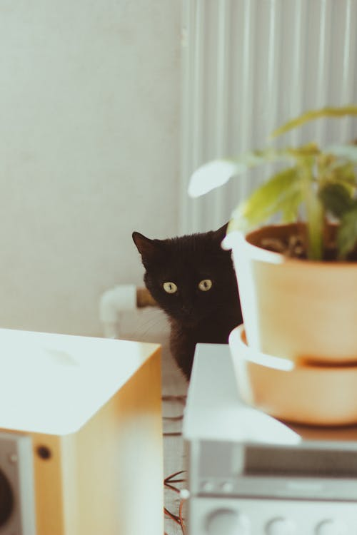 Bombay Cat in Front of Green Plant in White Pot