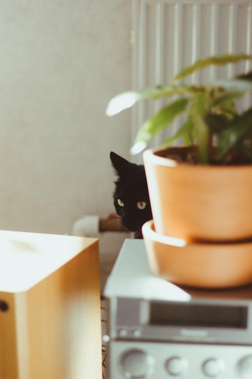 Free stock photo of black cat, cat, domestic animal