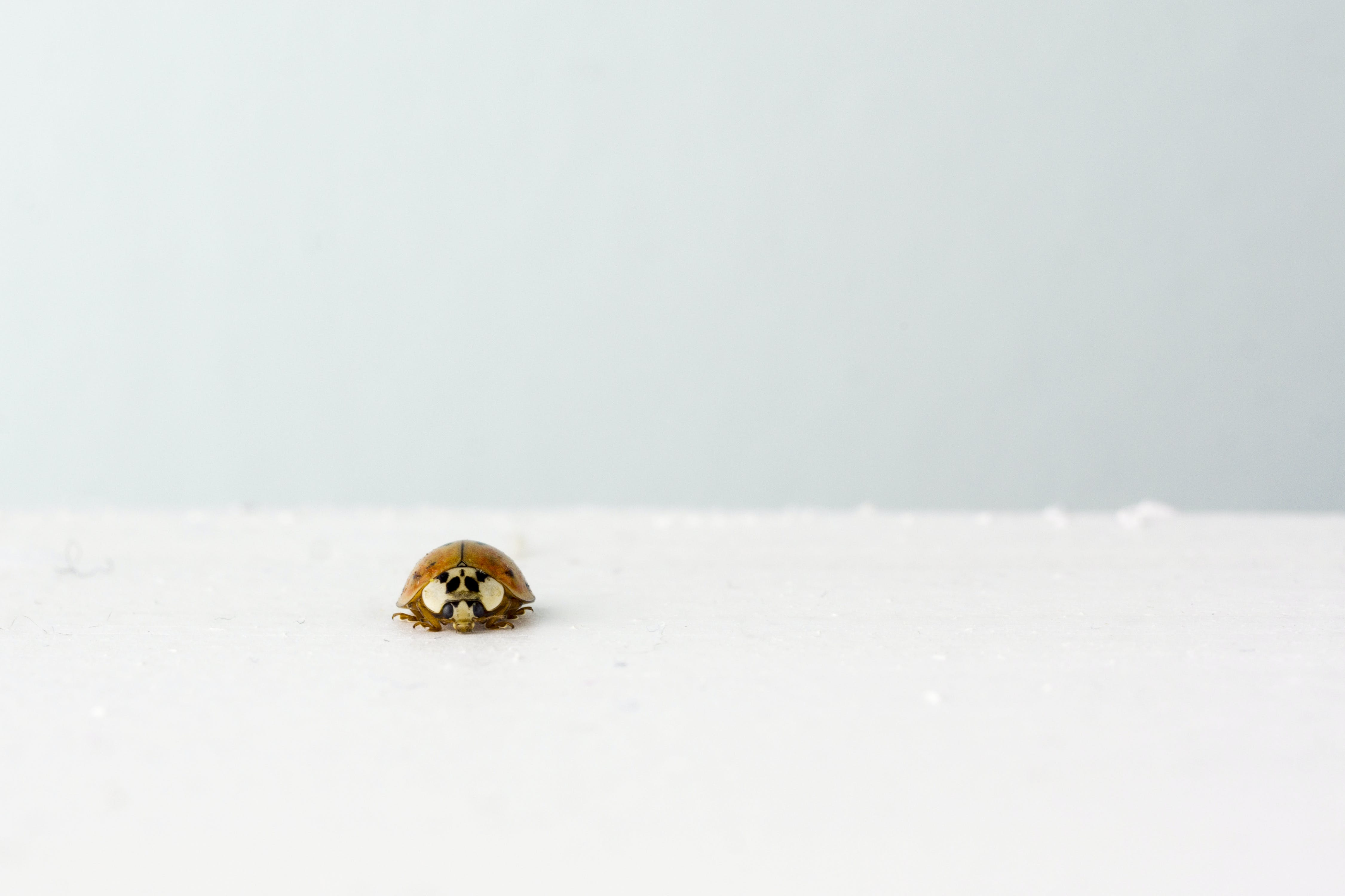 Brown Ladybug on White Surface