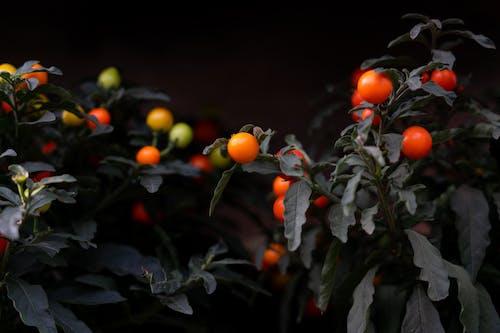 4k 桌面, 圣女果(小西红柿, 天性, 小蕃茄 的 免费素材照片