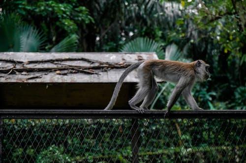 Imagine de stoc gratuită din animal, antropoidă, faună sălbatică, gard