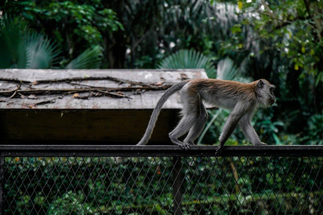 Monkey Crawling on Top of Black Fence