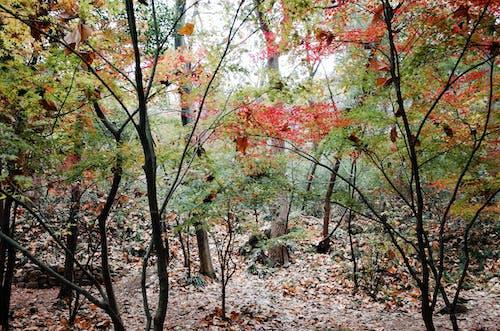 Foto profissional grátis de árvore, árvore de bordo, cor do outono
