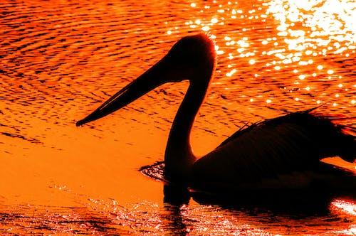 Бесплатное стоковое фото с Австралия, вечер, вода, дикая природа