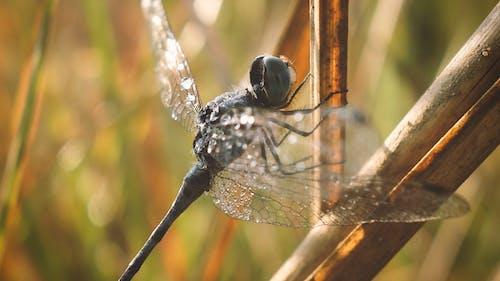 动物主题, 户外摄影, 特寫, 蜻蜓摄影 的 免费素材照片