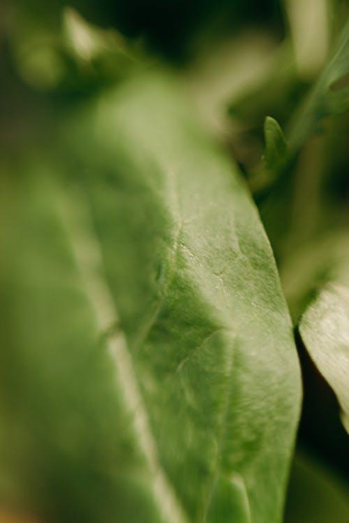 Fotobanka sbezplatnými fotkami na tému detailný záber, hĺbka ostrosti, list, listová zelenina
