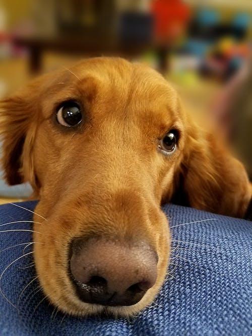 Δωρεάν στοκ φωτογραφιών με #dog, golden retriever, θολό παρασκήνιο, θολός