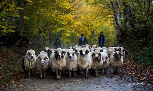 Безкоштовне стокове фото на тему «вівці, життя ферми, зелений, індичка»