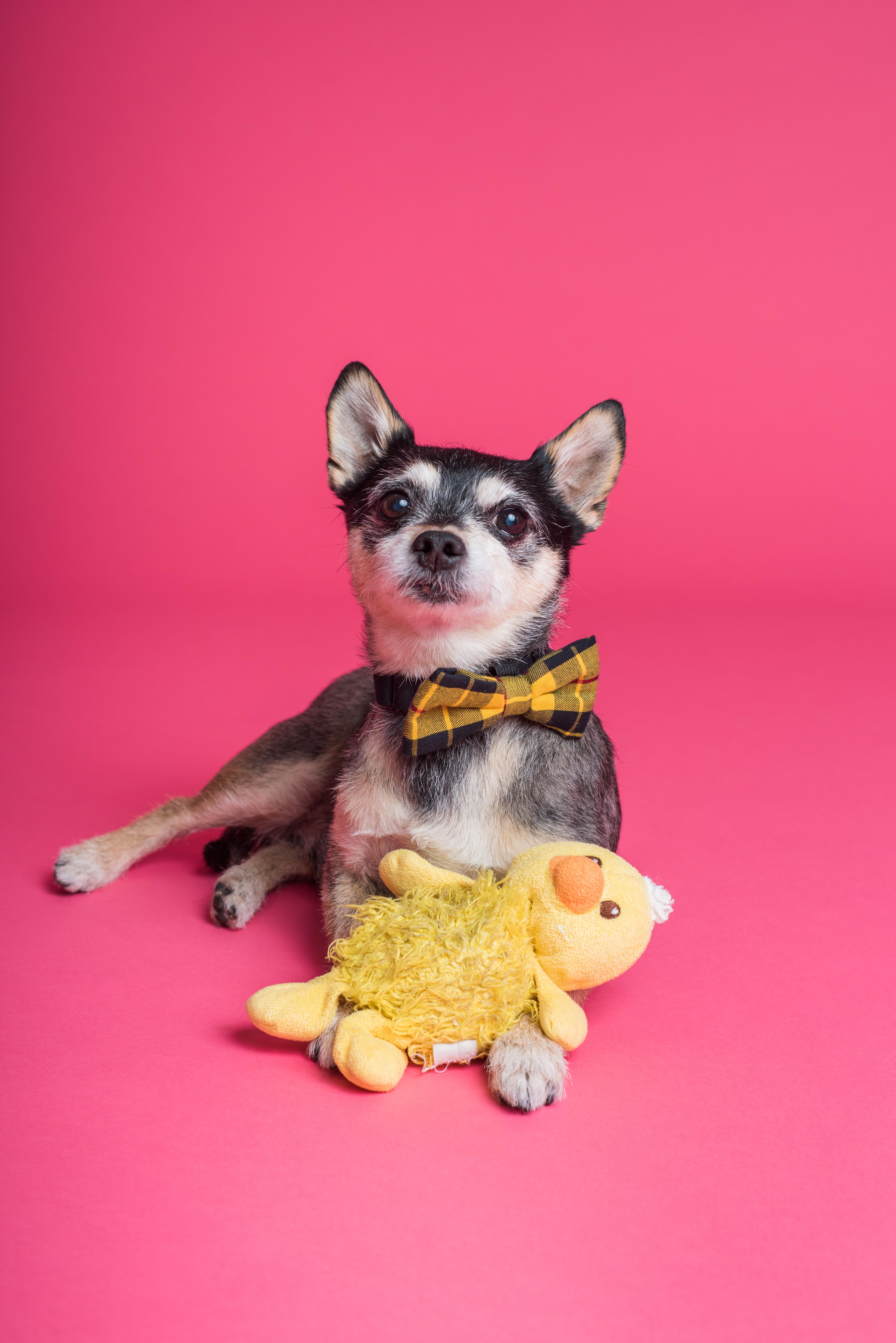 short coated dog sitting on pink surface
