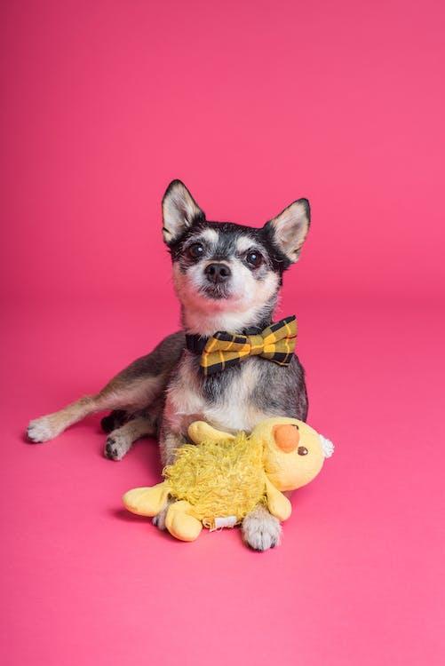 Short-coated Dog Sitting on Pink Surface