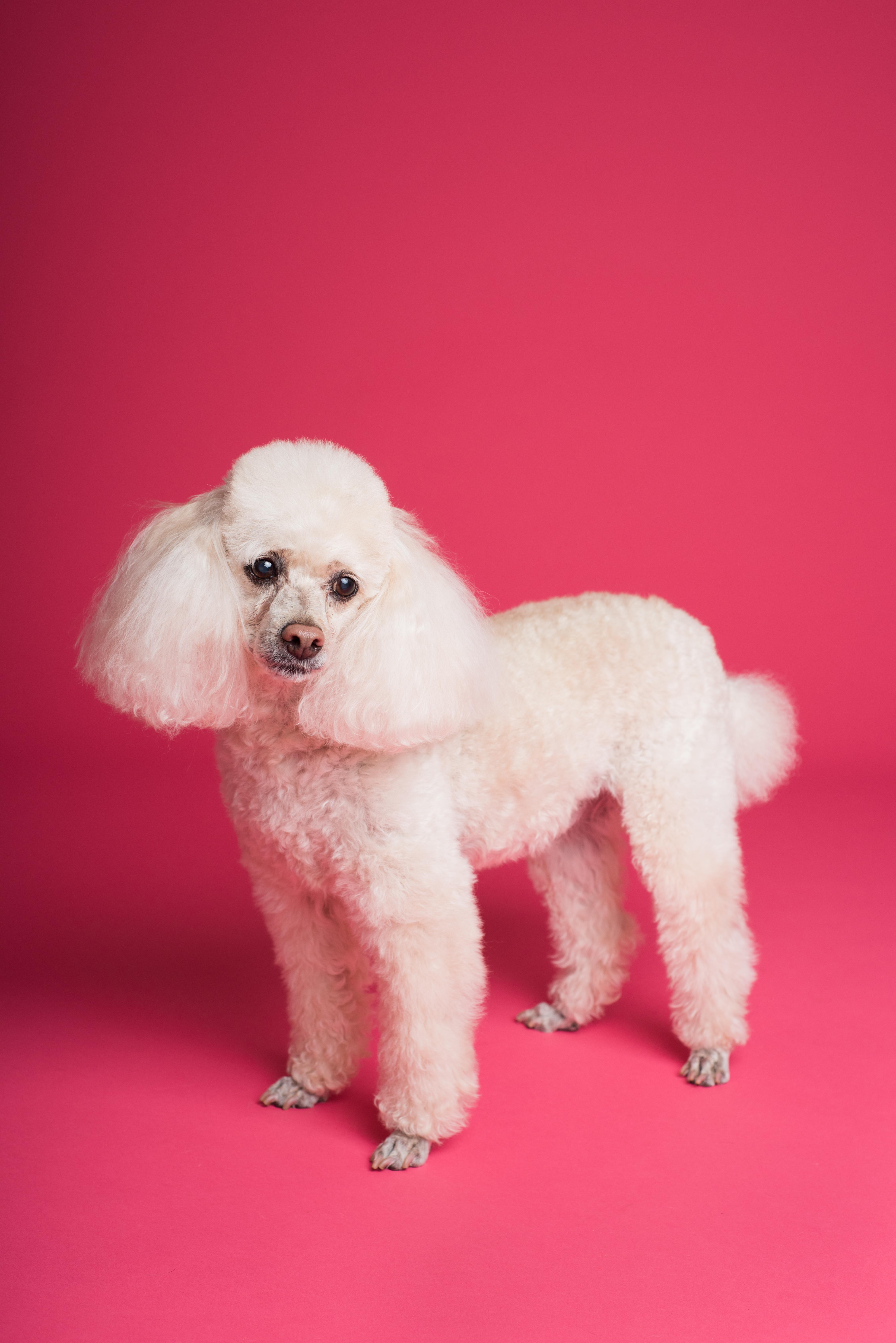 Long-coated White Poodle