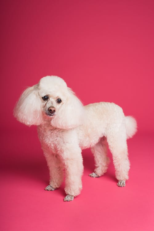 Long-coated White Poodle