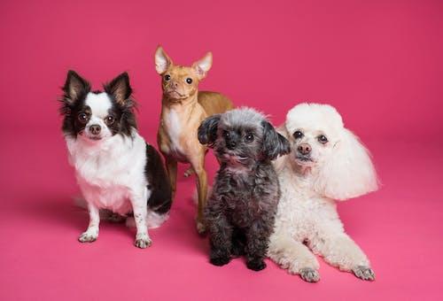 可愛的, 哺乳動物, 小狗, 很小的 的 免費圖庫相片