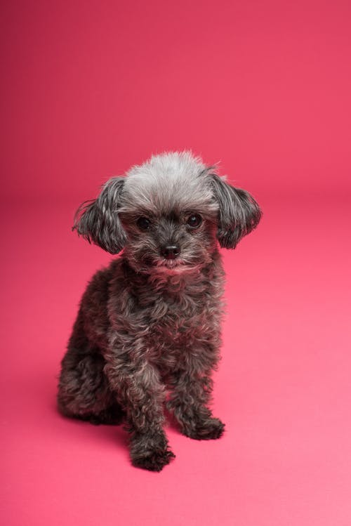 Gratis lagerfoto af chihuahua, dyr, dyrefotografering, hund