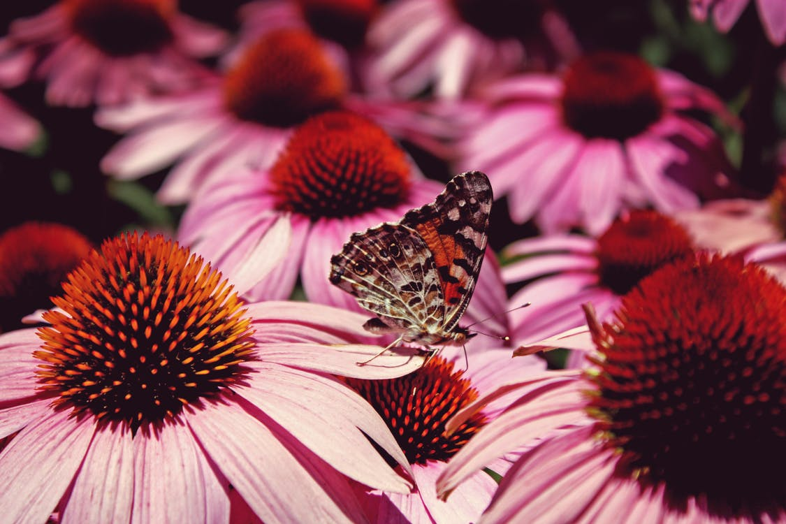 Painted Lady Butterfly Perched on Flower