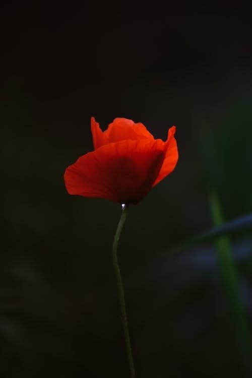 Kostenloses Stock Foto zu blume, blüte, blütenblätter, dramatisch