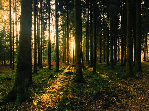 Kostnadsfri bild av bakgrundsbelyst, barrträd, dagsljus, dimma