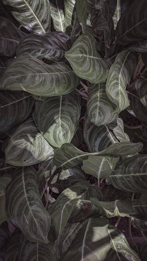 Fotobanka sbezplatnými fotkami na tému čierna tapeta, dekoratívna rastlina, pozadie, tapeta