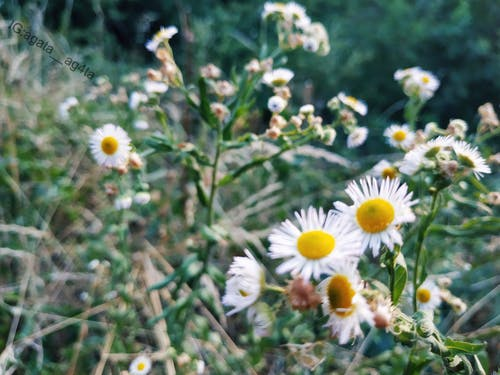 Free stock photo of chill, chilling, chillout, daisy