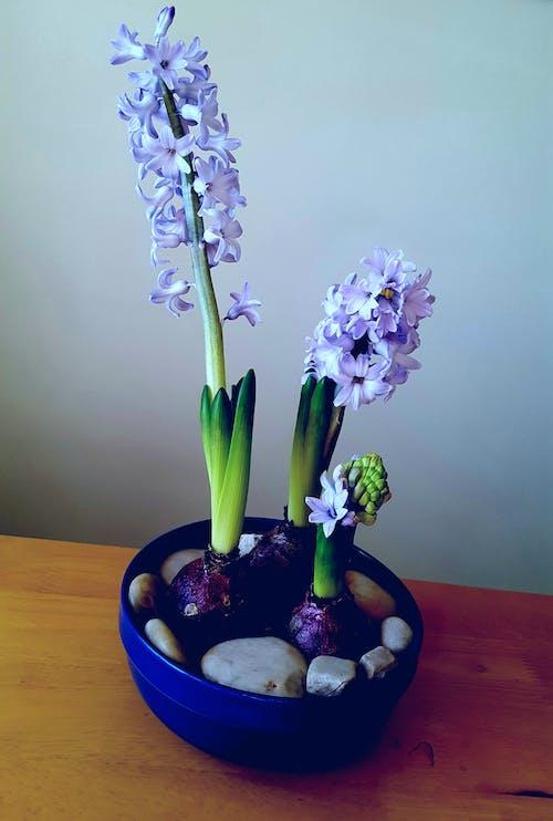 Free stock photo of blossom, blue, decoration, flower