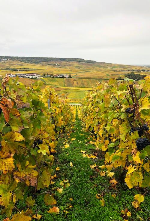 Kostnadsfri bild av höstfärger, vindruvor, vingård