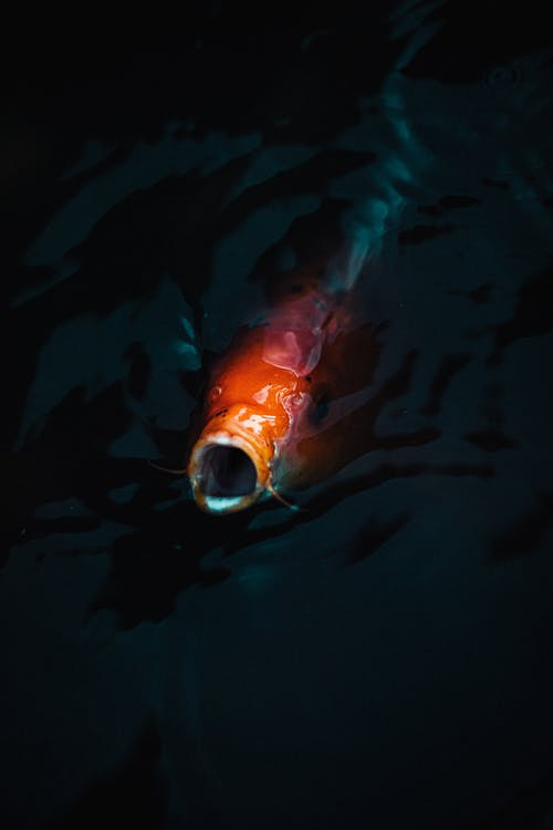 Red Fish Coming Out From Underwater To The Surface
