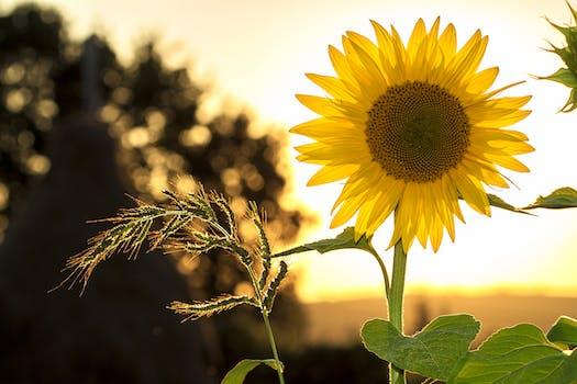 بستان ورد المصــــــــراوية - صفحة 5 Sunflower-sun-summer-yellow