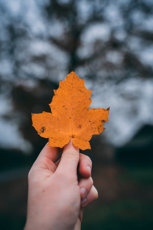 Photo Of Person Holding Maple Leaf