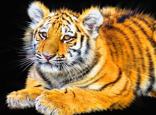 Безкоштовне стокове фото на тему «істота, дика кішка, дика природа, дикий»