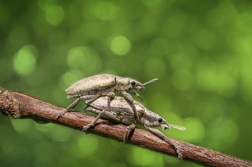 Selective Focus Photography of Two Mating Weevils on Brown Wooden Stick