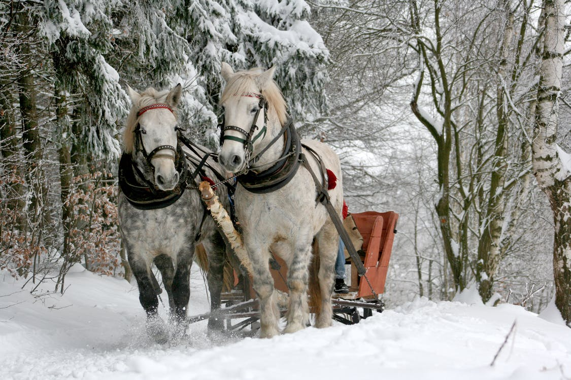 Two White Horses on Snow Path
