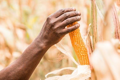 Foto stok gratis agrikultura, berbayang, fokus selektif, Jagung