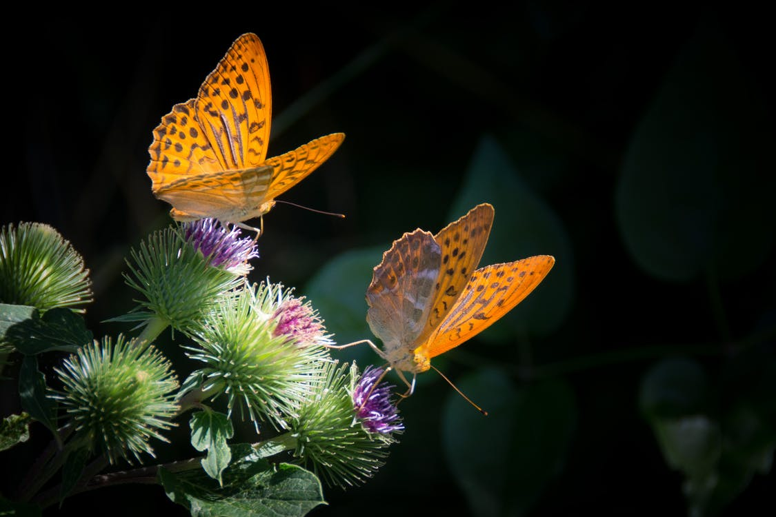 Two Yellow Butterflies on Purple Thistle Flowers Close-up Photography