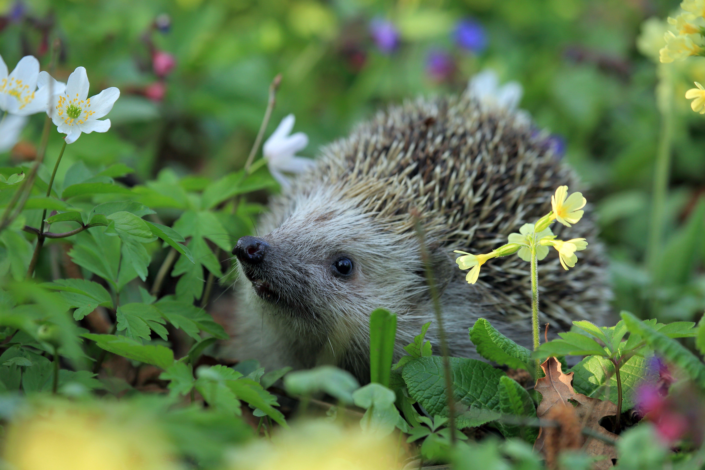 Gray Hedgehog