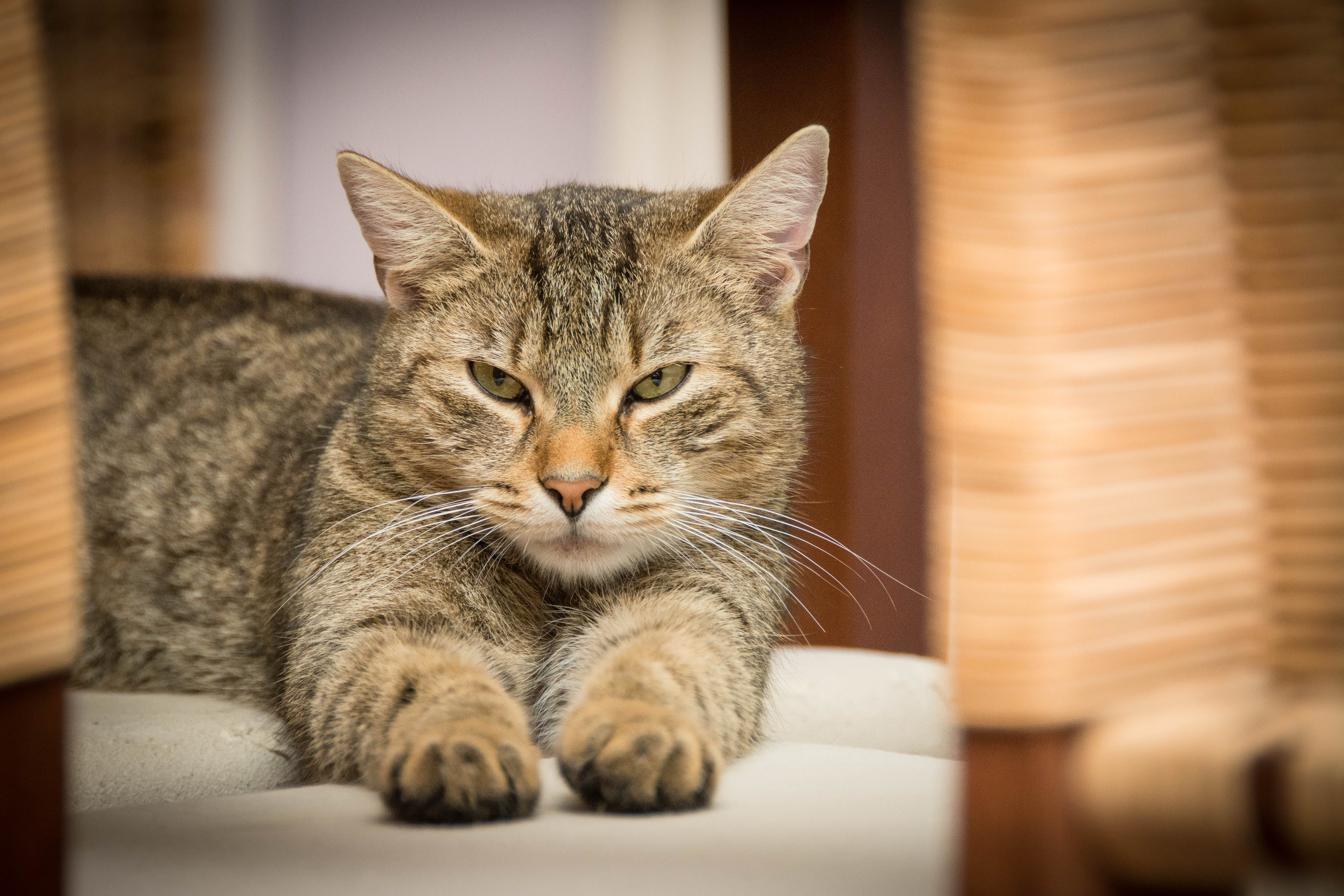 Black and Grey Tabby Cat