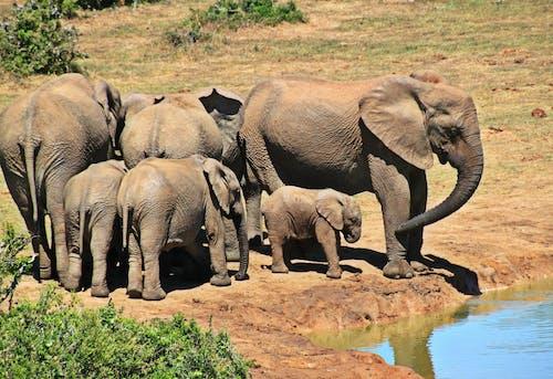 Gratis arkivbilde med afrikansk bush elefant, bagasjerom, busk, dyr