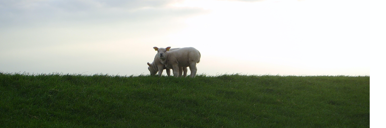 Free stock photo of grass, nature, schaap, sheep