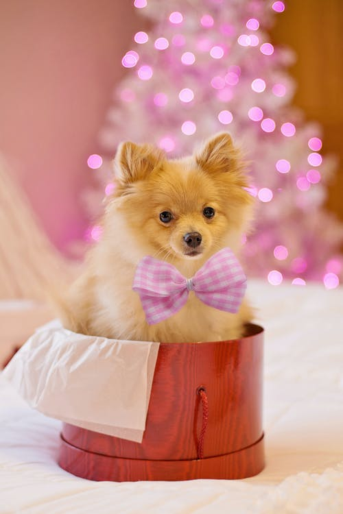 Pomeranian on a Red Gift Container