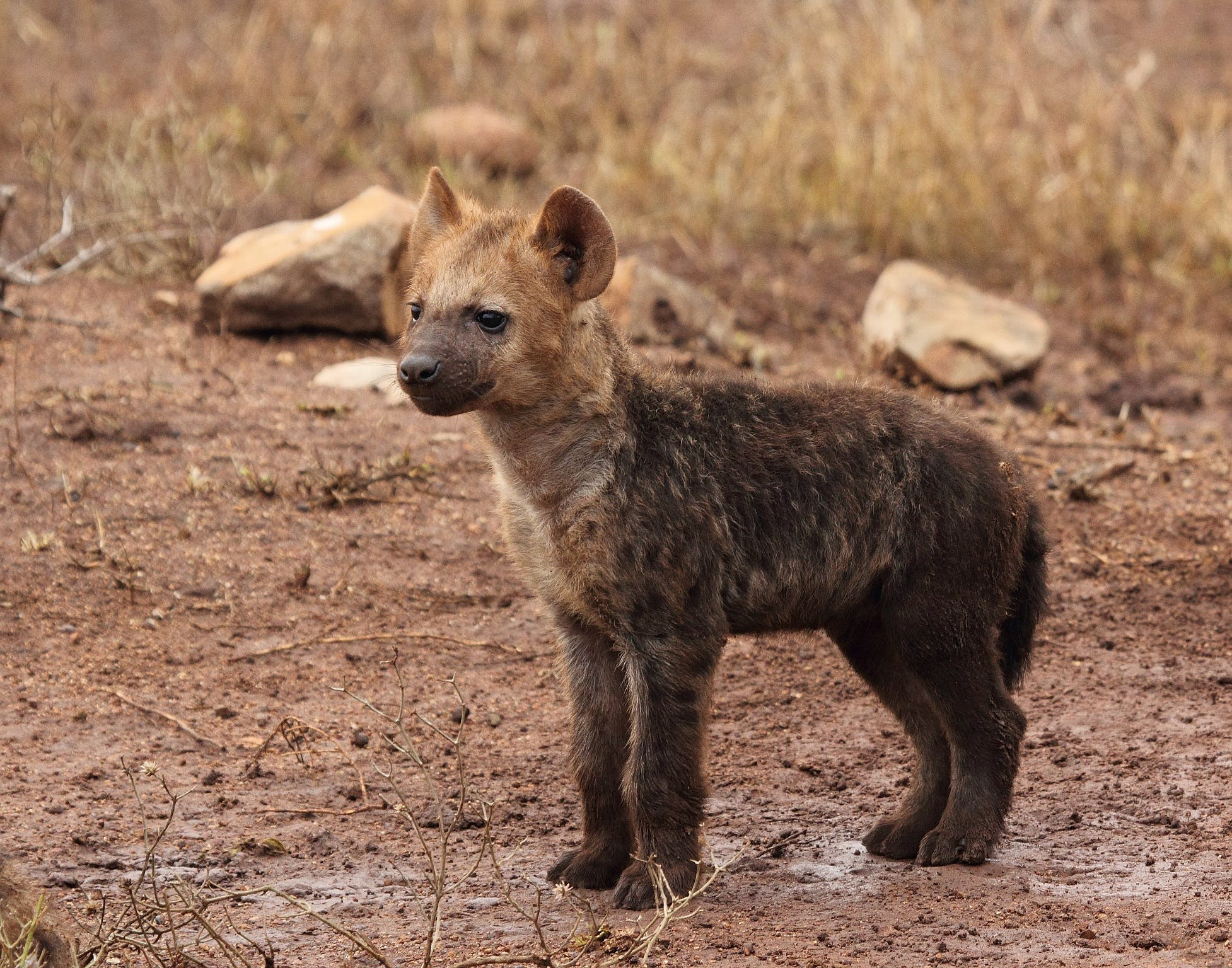 Brown Hyena Cub