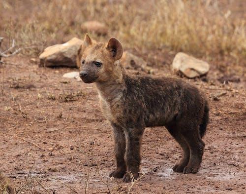 Kostnadsfri bild av djur, djurfotografi, hyena, vilda djur och växter