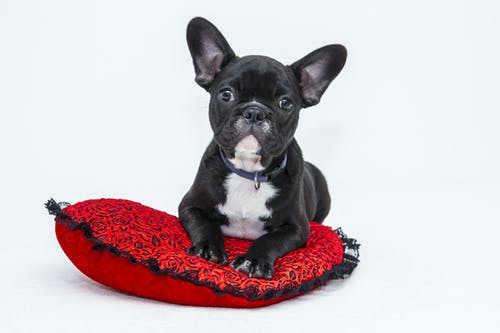 Black and White French Bulldog Puppy on Red Pillow